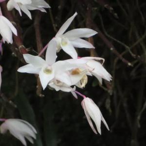 柔らかな赤紫を帯びた白い花が美しいセッコク(高尾の花 42)