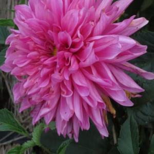 鮮やかなピンクの花弁がみごとなダリア「富士の泉」(ダリア・シリーズ 20-008)