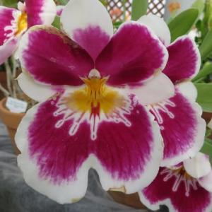 赤紫の大きな花のつくラン「ミルトニア・イースタン・ベイ 'ラシアン'」(蘭シリーズ 20-93)