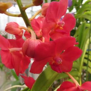 濃い紅色の大きな花がドキッとさせるラン「アスコケンダ・ペギー・フー」(蘭シリーズ 20-95)