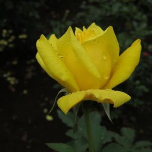 鮮やかながらもどこか温かみのある黄色のバラ「サマー・サンシャイン」