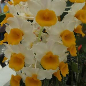 白の花弁の中央に黄色のリップが開くラン「デンドロビウム・シルシフロラム」(蘭シリーズ 20-97)