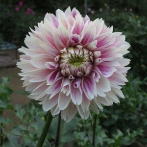 白と紫の複色のダリア「パフォーマンス」(ダリア・シリーズ 20-024)