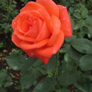 サーモンピンクの花弁が初々しいバラ「スーパースター」(春薔薇シリーズ20-045)