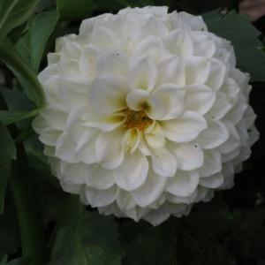ボール咲きの白の大輪のダリア「パールライト」(ダリア・シリーズ 20-027)