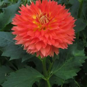 紅色の花弁の花芯の部分が黄色に染まる複色のダリア「秋祭り」(ダリア・シリーズ 20-028)