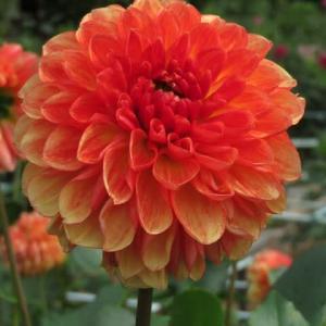 オレンジ色のグラデーションがきれいなダリア「ボヘミアン・オレンジ」(ダリア・シリーズ 20-051)