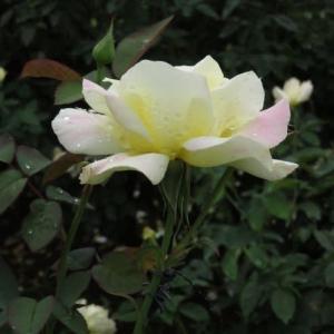 クリーム色の花弁の末端がほんのりとピンクに染まるバラ「ガーデン・パーティ」(春薔薇シリーズ20-079)