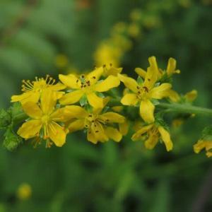 金色の五弁の小さな花がかわいい「キンミズヒキ」