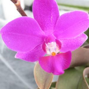 鮮やかなピンクの胡蝶蘭ラン「ファレノプシス (ムサシノ x  グレイス・パーム)」(蘭シリーズ 20-134)