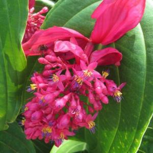 飛び立つ真っ赤な鳥のようにもみえる「メディニラ 火の鳥」(熱帯植物シリーズ 20-11)