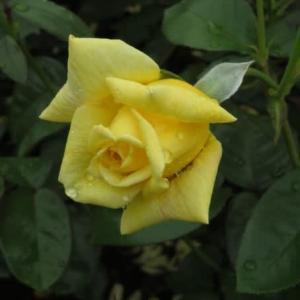 淡いアプリコット色を帯びた黄色の大輪のバラ「イエロー・ジャイアント」(春薔薇シリーズ20-081)