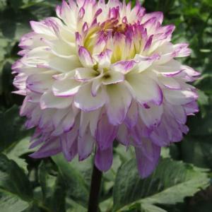 白の花弁の末端が藤色に染まるダリア「ポチョピン」(ダリア・シリーズ 20-053)