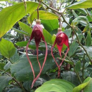 宇宙人のような「アリストロキア・トリカウダータ」(熱帯植物シリーズ 20-12)