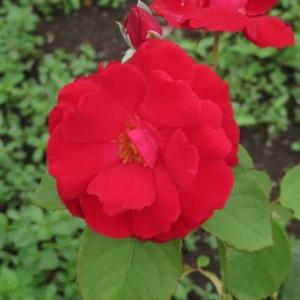半八重の真っ赤なバラ「ルビー・リップス」(春薔薇シリーズ20-082)