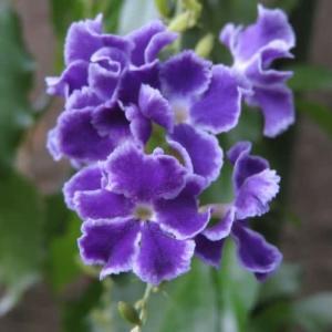 藤色の可愛い花に白い縁取りの入る「デュランタ・タカラヅカ」