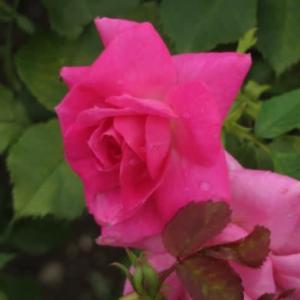 明るいピンクがあでやかに咲くバラ「フロリック」(春薔薇シリーズ20-084)