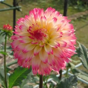 クリーム色の花弁の末端が紅に染まるダリア「プリマドンナ」(ダリア・シリーズ 20-054)