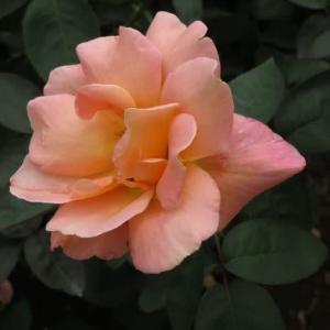 サーモンピンクの優雅な大輪のバラ「コンフィダンス」(春薔薇シリーズ20-086)