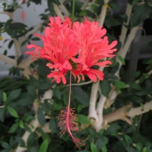 風鈴に似たハイビスカス「フウリンブッソゲ」(熱帯植物シリーズ 20-15)