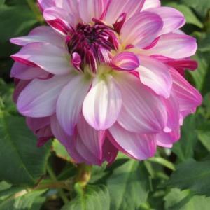 淡い紫の花弁の裏が濃い紫に染まるダリア「フェルメール」(ダリア・シリーズ 20-055)