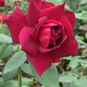 黒が力強い赤バラ「オクラホマ」(春薔薇シリーズ20-088)