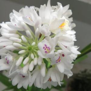 小さな白い花が群れるように咲くラン「ネオベンタミア・グラキリス」(蘭シリーズ 20-143)