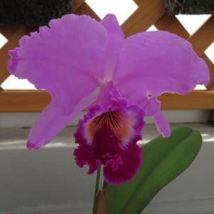 大きな紫色のラン「カトレア・ジョージ・バルドウィン 'プロリフィック'」(蘭シリーズ 20-144)