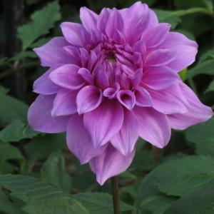 紫色の大輪のダリア「大桃花輪」(ダリア・シリーズ 20-058)