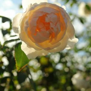 アプリコット色の丸いバラ「リッチフィールド・エンジェル」(秋バラ・シリーズ20-007)