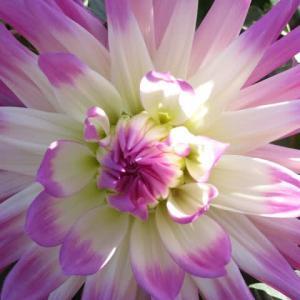 薄いピンクの花弁の末端が濃いピンクになるダリア「バードジャスター」(ダリア・シリーズ 20-070)