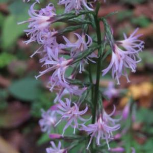薄いピンクの花が集まって咲く「エンシュウハグマ」(箱根シリーズ 060)