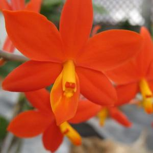 燃えるようなオレンジ色のラン「プロステケア・ビテリナ」(蘭シリーズ 20-169)
