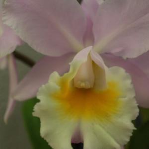 パステルピンクの花弁に白いリップが映えるラン「リンコレリアカトレア・ムーン・ミス 'ルナ・ドーン'」(蘭シリーズ 20-171)
