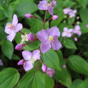 ピンクの花がきれいなノボタン科の「ハシカンボク」(箱根シリーズ 065)