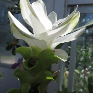 ショウガ科らしい白い大きな花を咲かせる「クルクマ・アリスマティフォリア」(熱帯植物シリーズ 20-22)