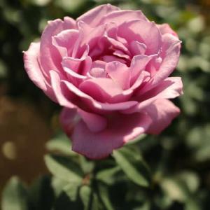 ラベンダー色の豪奢なバラ「ブルー・パフューム」(秋バラ・シリーズ20-018)