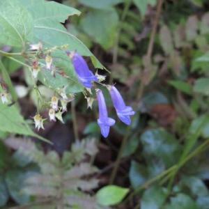 筒型の長い青の花弁がかわいいアキチョウジ