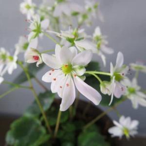 白の大きな弁が目立つ大文字草「伊予の白菊」(箱根シリーズ 077)