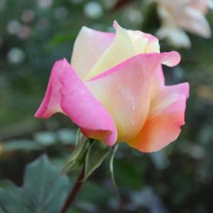 淡い黄色に濃い紅色がアクセントをつけるバラ「イーハトーブの光」