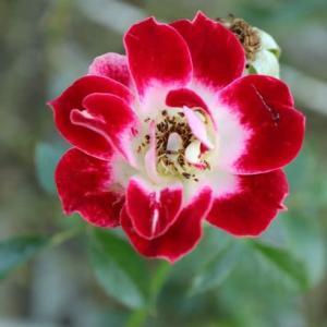 濃い赤の花弁がかわいいバラ「つるリトルアーティスト」(秋バラ・シリーズ20-050)