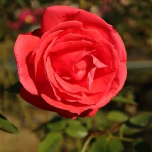 深紅のつるバラ「つるスーパースター」(秋バラ・シリーズ20-052)