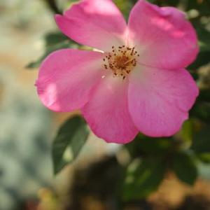 ローズピンクのグラデーションがきれいなバラ「カウンティフェア」(秋バラ・シリーズ20-084)