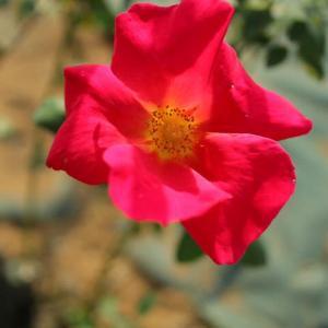 赤の一重の華やかなバラ「せいか」(秋バラ・シリーズ20-085)
