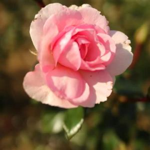 ピンクのロゼッタ咲きのバラ「ホーム&ガーデン」(秋バラ・シリーズ20-086)