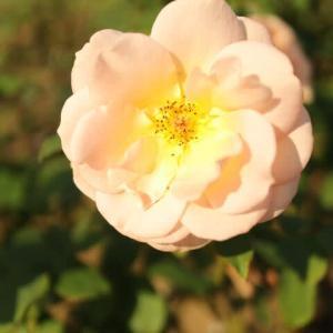 杏色の花をゆったりと咲かせるバラ「アプリコット・ネクター」(秋バラ・シリーズ20-087)