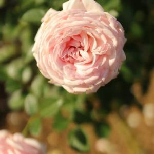 おとなしいピンクのロゼット咲きのバラ「いわての春」(秋バラ・シリーズ20-088)