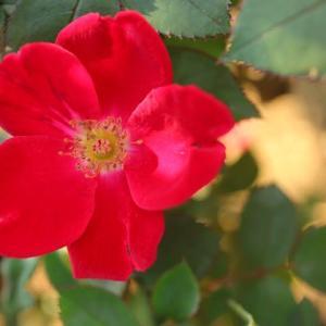 一重の赤い花弁がシンプルできれいなバラ「ホームラン」(秋バラ・シリーズ20-090)