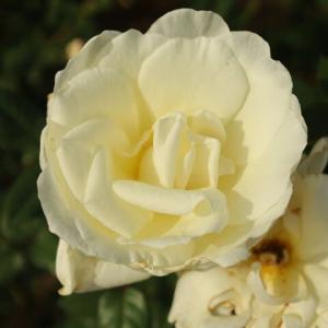 おっとりと咲く白バラ「ブランシュ・マルラン」(秋バラ・シリーズ20-091)