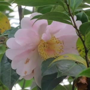 牡丹咲きのやさしいピンク色の椿「モンティセロ」(椿シリーズ 21-53)